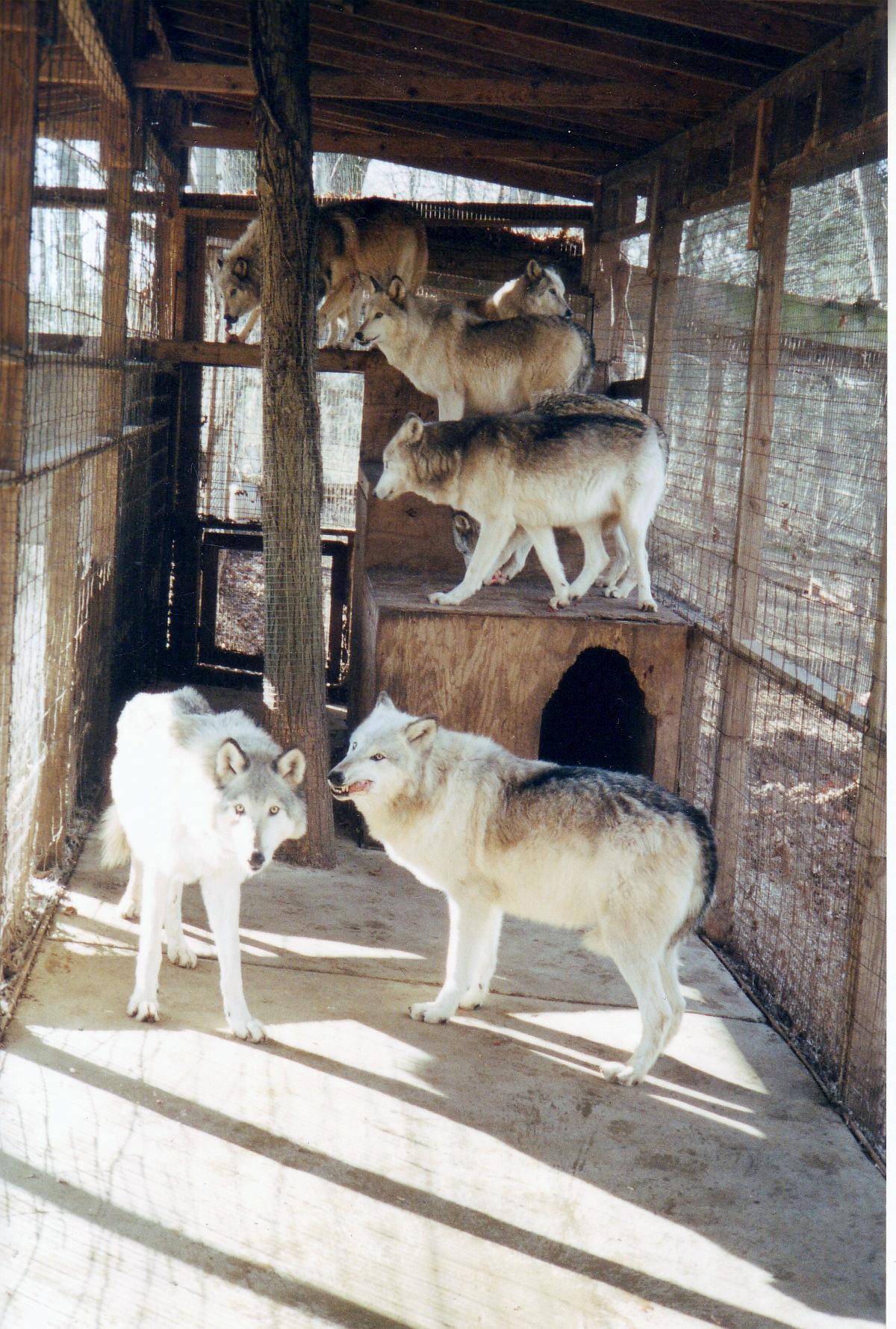 Wolves | Kimbertal Kennels