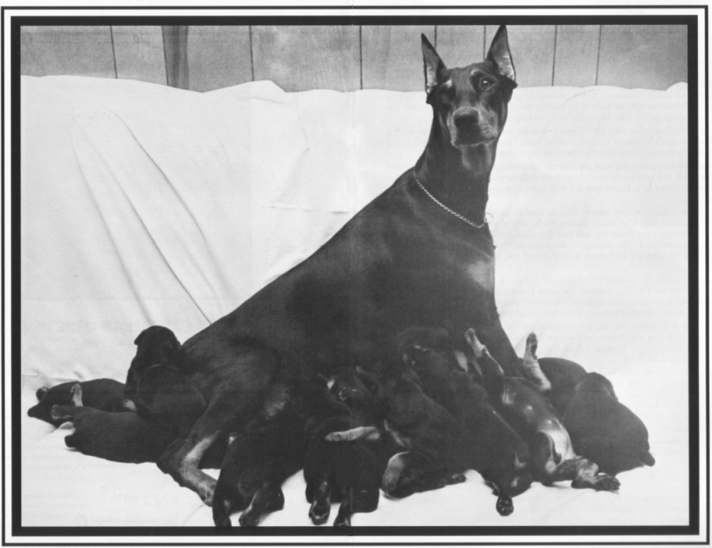 A Kimbertal mother nursing her puppies. Spring 1982.